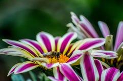 Gran trabajo de una abeja fotografía de archivo