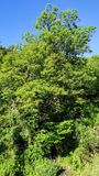 The gran tree. Green, big, sky, blue, bright, day stock images