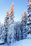Gran under den insnöade vintern Lapland Arkivfoton