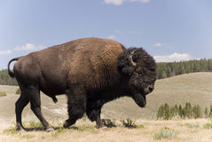 Gran varón americano del búfalo en Yellowstone N.P. - 1 Fotos de archivo libres de regalías