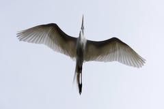 Gran vuelo blanco del Egret arriba Foto de archivo libre de regalías