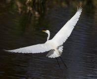 Gran vuelo del egret Fotografía de archivo