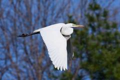 Gran vuelo del Egret Foto de archivo libre de regalías