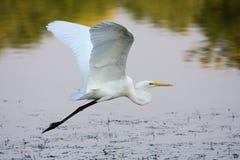 Gran vuelo del Egret Fotos de archivo libres de regalías