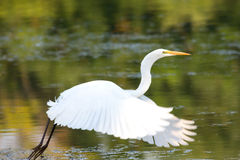 Gran vuelo del Egret Foto de archivo