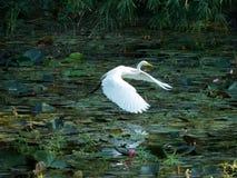 Gran vuelo del pájaro de la garceta en la reflexión del lago en agua foto de archivo