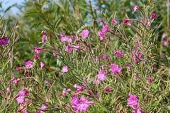 Gran willowherb melenudo o hirsutum del Epilobium en naturaleza salvaje Imágenes de archivo libres de regalías