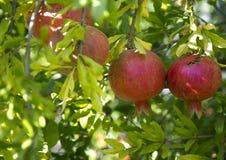 granaatappel bij binnenplaatstuin stock afbeelding