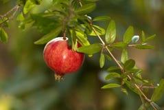 Granaatappel op de boom Stock Foto