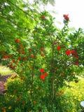 Granaatappelbloemen Stock Afbeelding