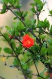 Granaatappelbloemen Stock Afbeeldingen