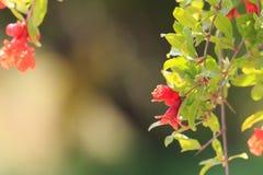 Granaatappelbloemen Het daglichtzon van de de lentetijd stock foto