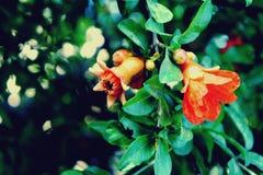 Granaatappelbloemen op boom stock foto's