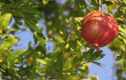 Granaatappelboom Royalty-vrije Stock Afbeeldingen