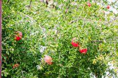 Granaatappelboom Stock Afbeelding