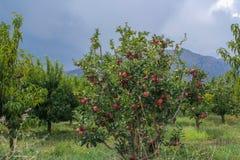 Granaatappelboom Het kleine boom groeien in het zuiden van Europa en Azië , Fethiye Mugla, Turkije royalty-vrije stock afbeeldingen