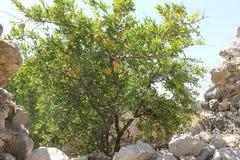 Granaatappelboom met fruit rijp rood Royalty-vrije Stock Afbeeldingen