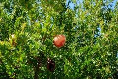Granaatappelboom met Vruchten of Punica granatum tegen Blauwe Hemel in de Zomer Stock Afbeelding