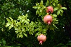 Granaatappelboom, Toscanië, Italië Stock Afbeelding