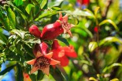 Granaatappeleierstok met bloemen op de boom royalty-vrije stock foto