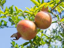 Granaatappelfruit Royalty-vrije Stock Fotografie