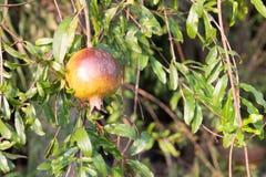 Granaatappelfruit met het groene blad Stock Afbeelding