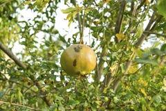 Granaatappelfruit op de boom met groene bladeren stock afbeelding