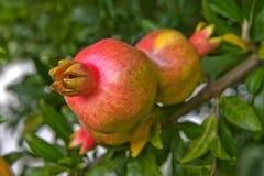 granaatappels Stock Fotografie