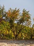 Granaatappels op boom Stock Afbeeldingen