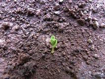 Granaatappelspruit die uit de grond te voorschijn komen stock fotografie