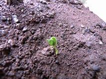 Granaatappelspruit die uit de grond te voorschijn komen stock foto