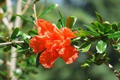 A granada da flor é lat ordinário Granatum do Punica Imagem de Stock Royalty Free