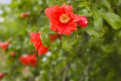Granada en flor en botanica Foto de archivo libre de regalías