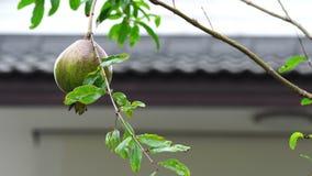 Granada que crece en la fruta sana de la rama de árbol con el fondo borroso casero almacen de video