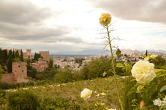Granada and roses. White Roses on a granada's background Royalty Free Stock Photography