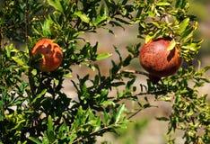 Granadas en el árbol Foto de archivo libre de regalías