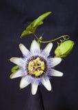 Granadilla Flower. Photo of Granadilla flower taken against black background Stock Images