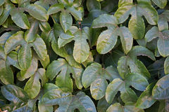 GRANADILLA VINE LEAVES. Leaves of a granadilla vine Stock Image