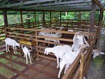 Granaio bianco di legno dell'azienda agricola della capra Immagini Stock
