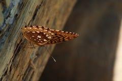 Granaio della farfalla fotografia stock libera da diritti