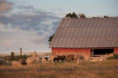 Granaio e pecore Immagini Stock Libere da Diritti