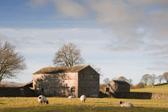Granaio e pecore di pietra tipici in vallate Inghilterra di Yorkshire Immagine Stock Libera da Diritti