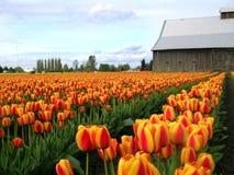 Granaio ed orizzonte del tulipano Fotografia Stock