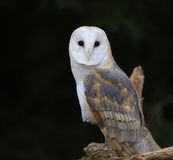 Granaio Owl Eye Contact Fotografie Stock