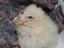 Granaio Owl Hatchling Fotografia Stock