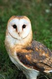 Granaio Owl Posing Fotografia Stock Libera da Diritti