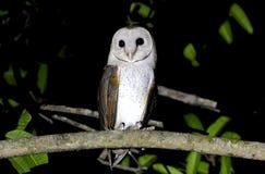 Granaio Owl Tyto alba Fotografia Stock