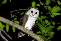 Granaio Owl Tyto alba Fotografie Stock