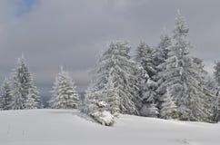 Granar i snö Royaltyfri Foto