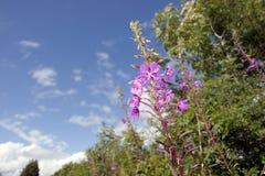 Granard irlandczyka różowi dzicy kwiaty Zdjęcia Royalty Free